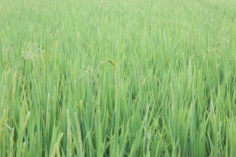 Het groene rijstblad stock fotografie