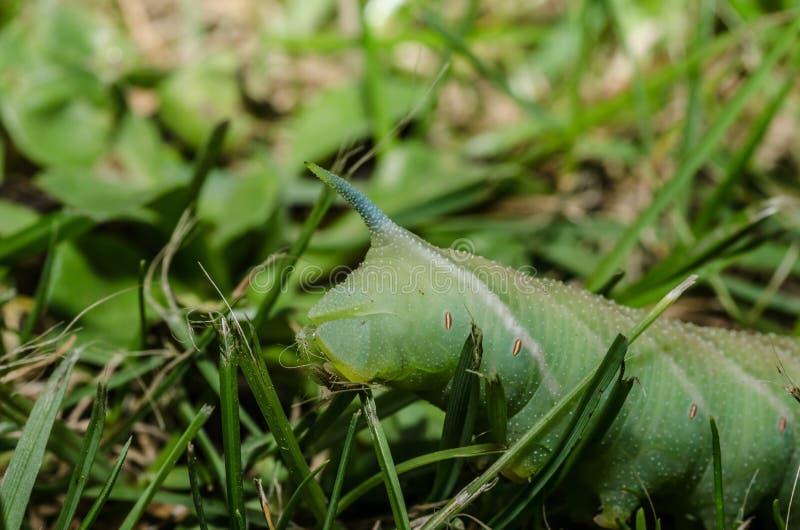 het groene rupsband eten stock afbeelding