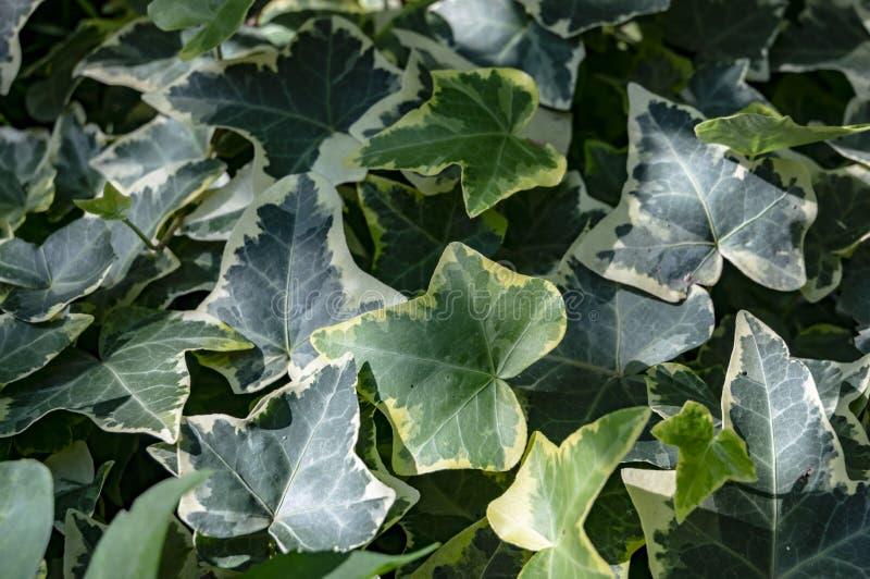 Het groene tapijt van de schroefgoldchild van klimophedera Originele textuur van natuurlijk groen Achtergrond van elegante blader stock afbeelding