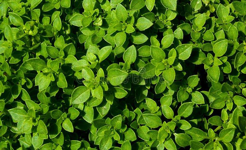 Het groene verse basilicum verlaat natuurlijke achtergrondpatroon stock afbeelding