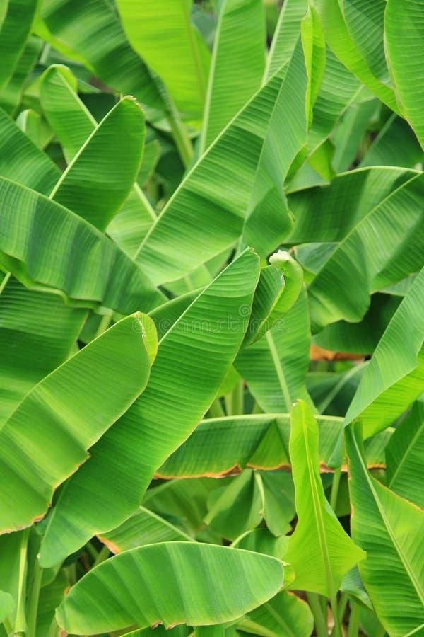 Het groene Verse Blad van de Banaan royalty-vrije stock fotografie