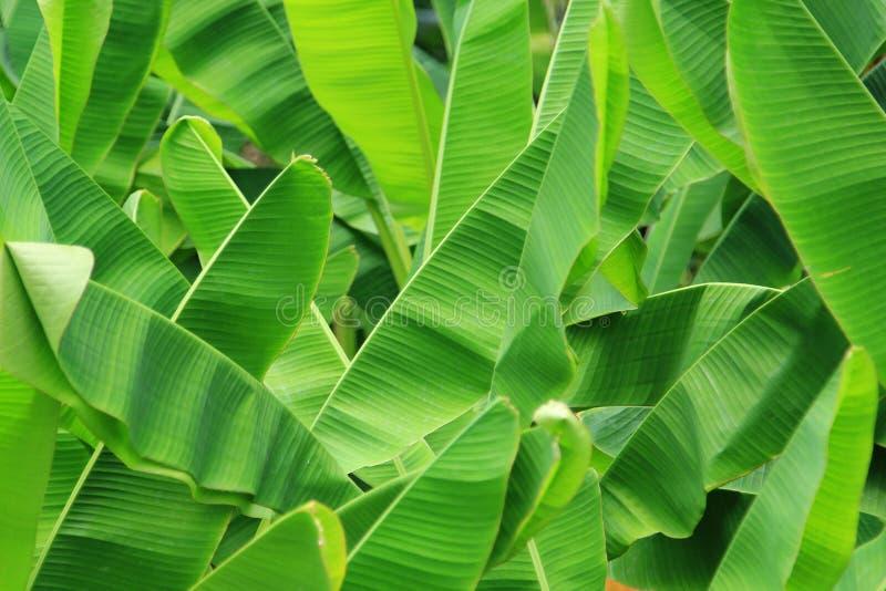 Het groene Verse Blad van de Banaan royalty-vrije stock foto's
