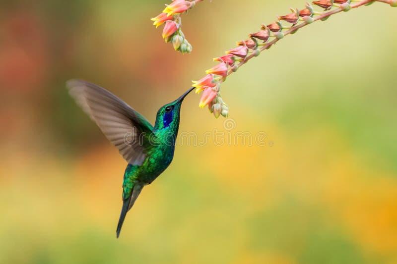 Het groene violetear tijdens de vlucht hangen naast rode bloem, vogel, berg tropisch bos, Costa Rica stock foto