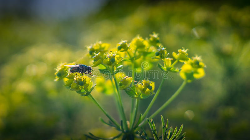 Het groene vlieg voeden op stuifmeel stock foto's