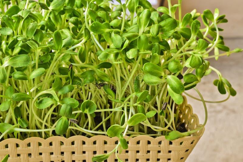 Het groene zonnebloemspruit groeien van zaad in mand thuis stock foto