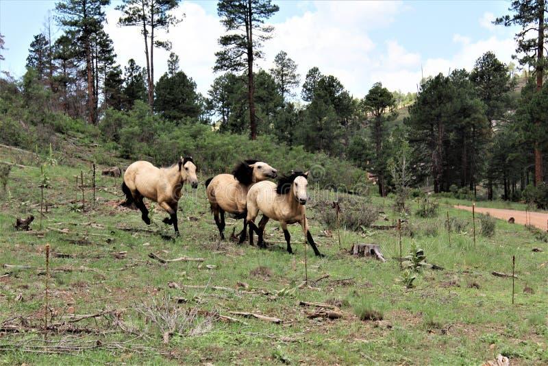 Het Grondgebied van het Heberwild paard, het Nationale Bos van Apache Sitgreaves, Arizona, Verenigde Staten stock afbeelding