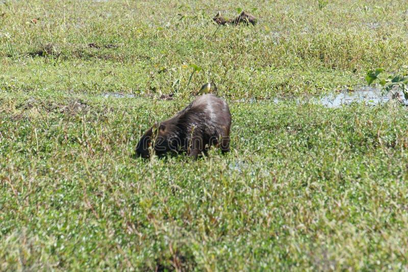 Het grootste knaagdier in Zuid-Amerika - capybara, die in pampas leven royalty-vrije stock foto