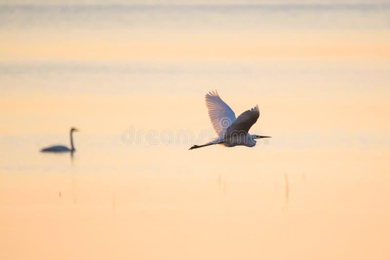 Het grote alba vliegen van aigretteardea over meer, tijdens zonsondergang stock afbeelding