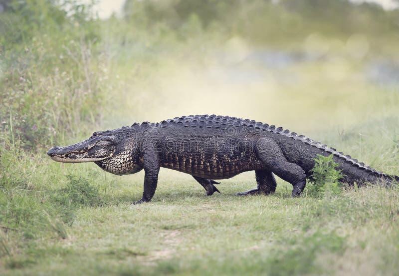 Het grote Amerikaanse Krokodille lopen stock afbeeldingen