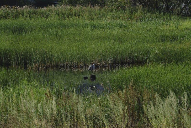 Het grote blauwe reiger stellen in het moerasland van Florida bij dageraad royalty-vrije stock afbeelding