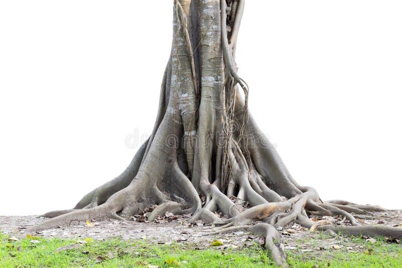 Het grote die boomwortels mooi uitspreiden uit en boomstam op whi wordt geïsoleerd stock afbeeldingen