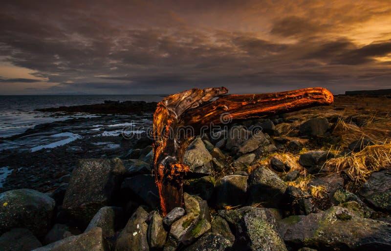 Het grote Drijfhout van de Boomstomp op Strand stock afbeeldingen