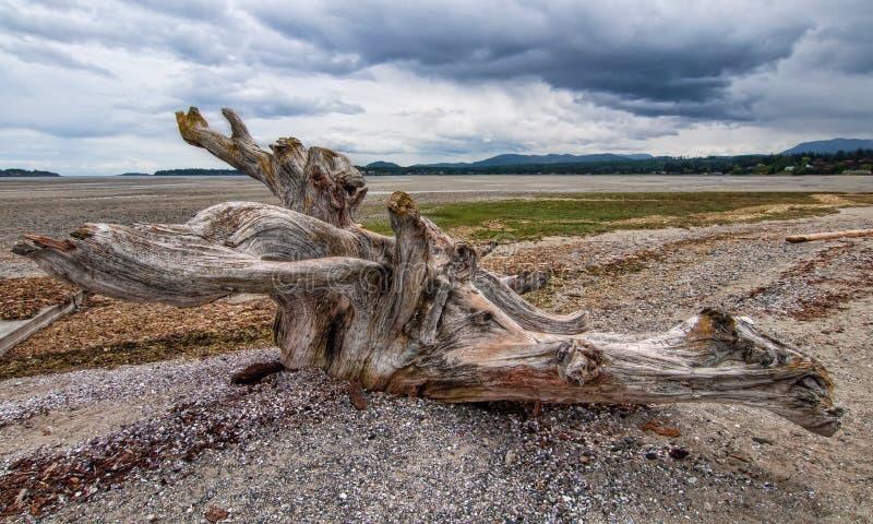 Het grote Drijfhout van de Stomp van de Boom op Strand stock afbeeldingen