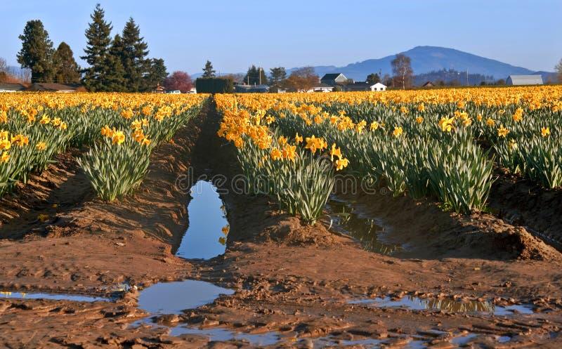 Het grote Gebied van de Gele narcis na een Regen van de Lente stock afbeeldingen
