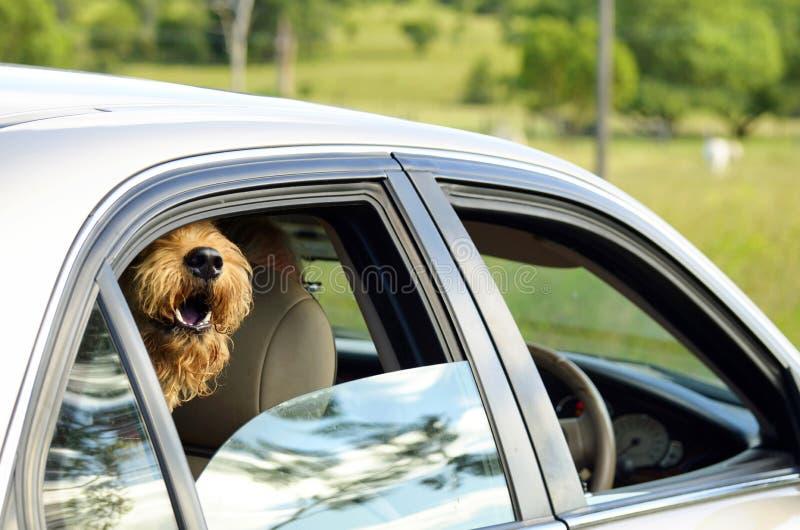 Het grote harige hond zeer opgewekte het huilen gelukkige gaan voor de aandrijving van het land stock afbeelding