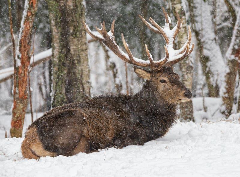 Het grote hert ligt onder faling sneeuw De trofee antlered mannetje met in de sneeuw Volwassen edele herten met grote die hoornen stock afbeeldingen