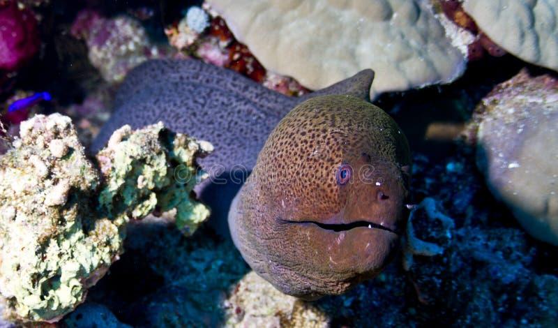 Het grote moray leven in het Kleine Rode Overzees van Giftun royalty-vrije stock foto