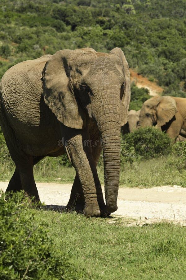 Het grote olifant lopen stock foto's