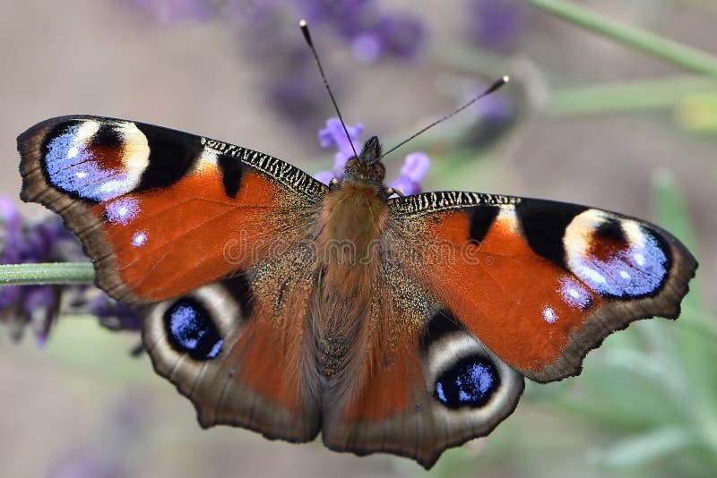 Het grote oog van de vlinderpauw met een gevoelig patroon op de geopende vleugels royalty-vrije stock afbeelding