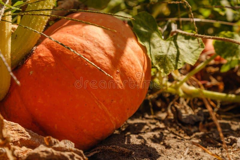 Het grote oranje pompoen groeien op bed, oogstpompoen, pompoen voor babyvoedsel dicht omhoog stock afbeelding