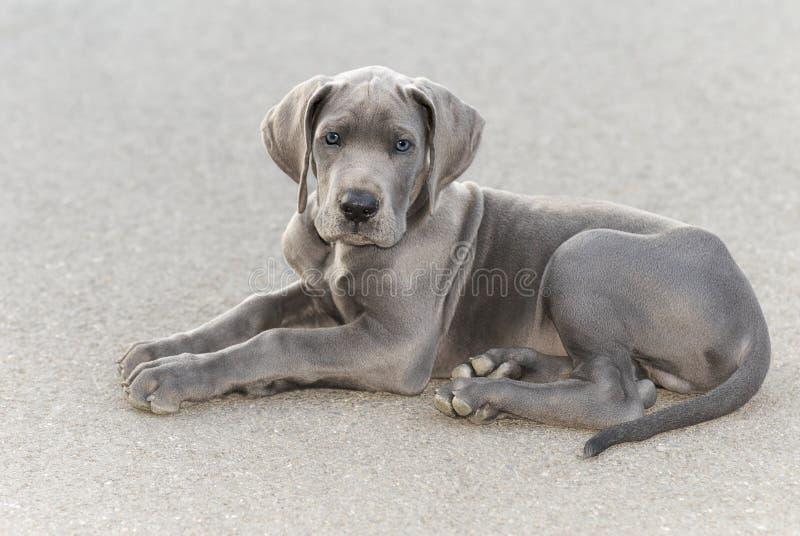 Het grote puppy van de Deen royalty-vrije stock foto's