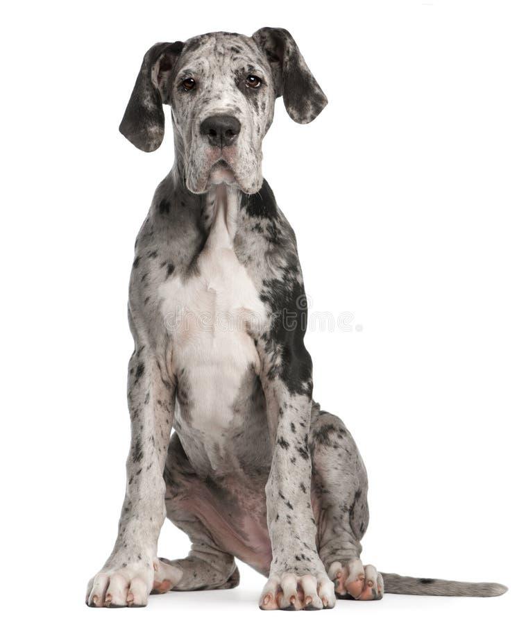 Het grote puppy van de Deen, 3 maanden oud, het zitten royalty-vrije stock afbeelding