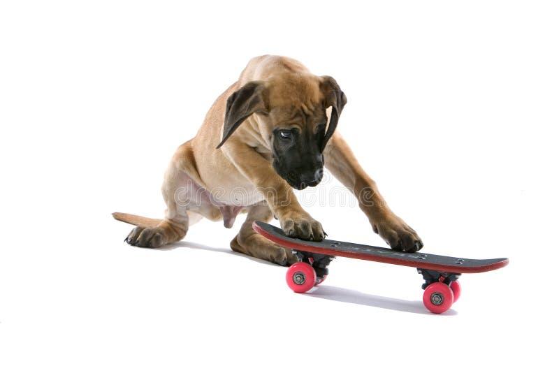 Het grote puppy van de Deen stock foto