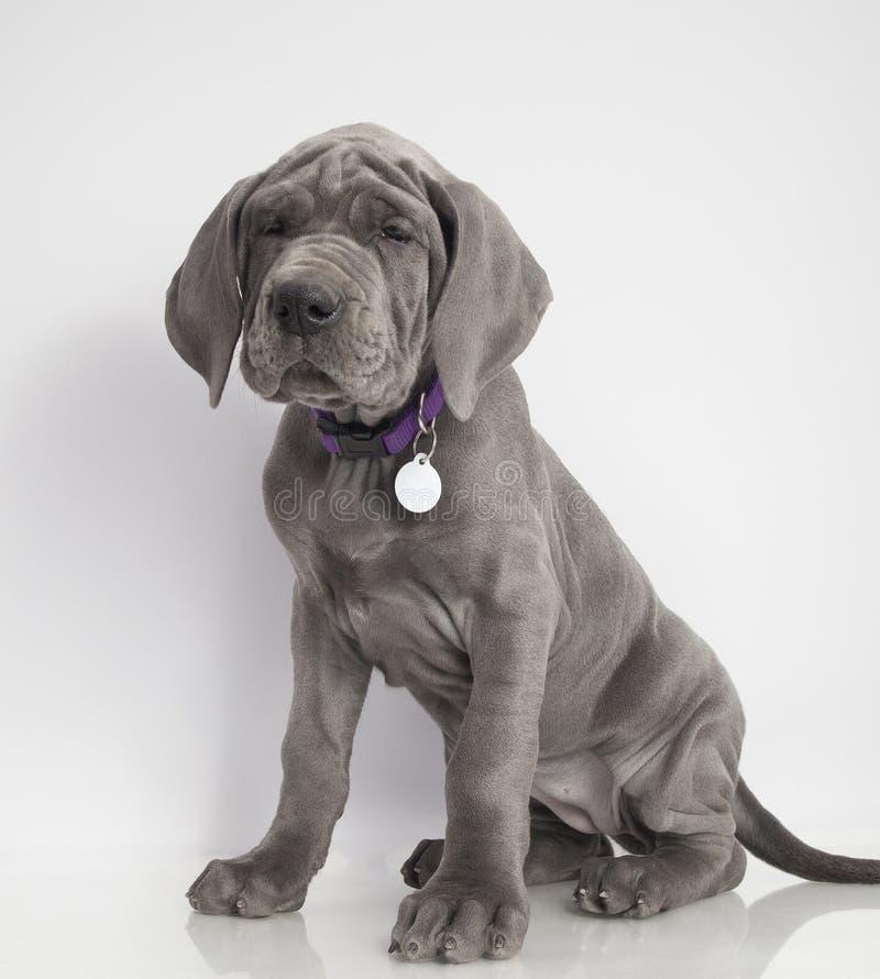 Het grote puppy van de Deen royalty-vrije stock fotografie