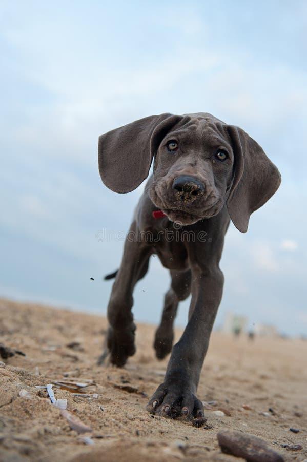 Het grote puppy van de Deen op het strand royalty-vrije stock afbeelding