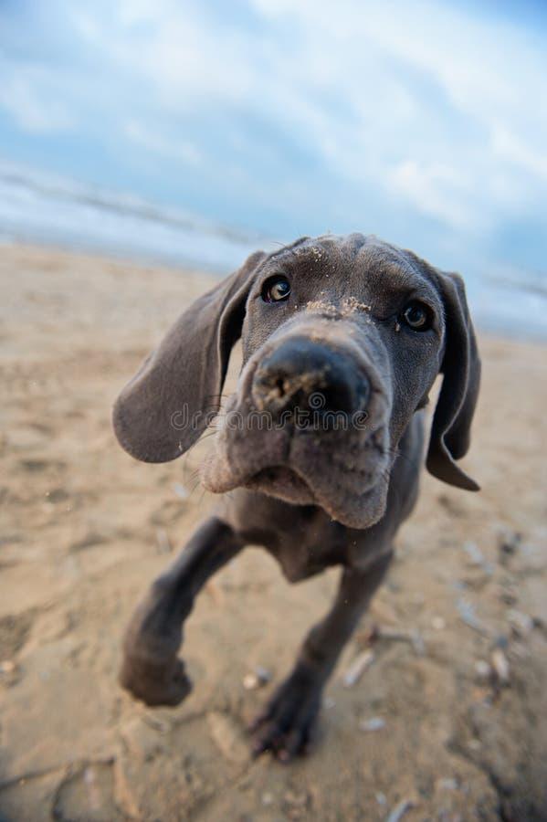 Het grote puppy van de Deen op het strand stock afbeeldingen