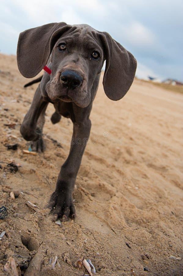 Het grote puppy van de Deen op het strand stock afbeelding
