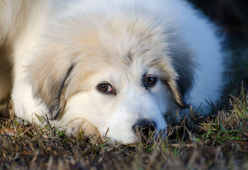 Het grote Puppy van de Pyreneeën royalty-vrije stock fotografie