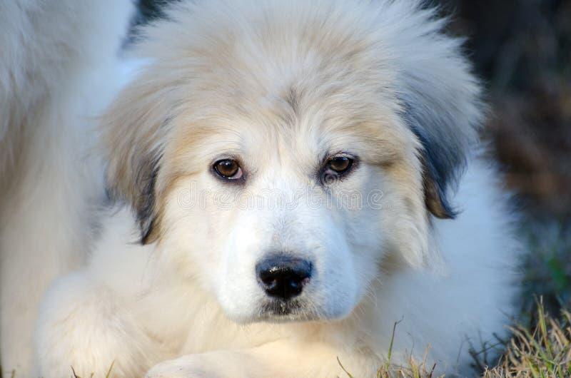 Het grote Puppy van de Pyreneeën stock afbeeldingen