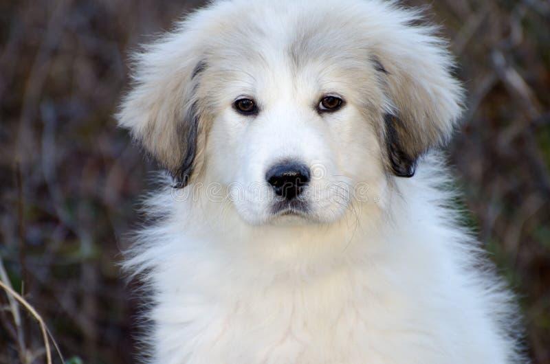 Het grote Puppy van de Pyreneeën stock fotografie