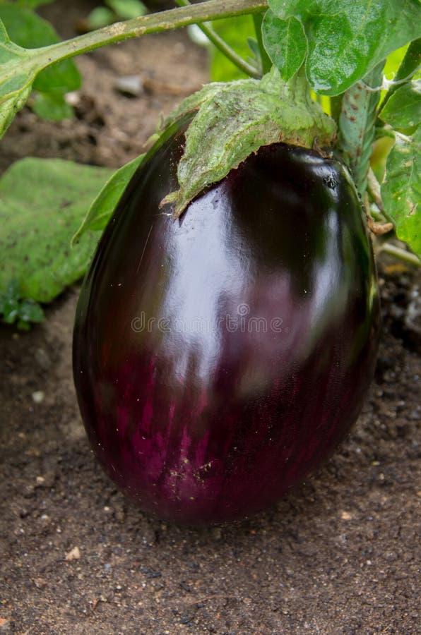 Het grote purpere aubergine groeien in een tuin royalty-vrije stock fotografie