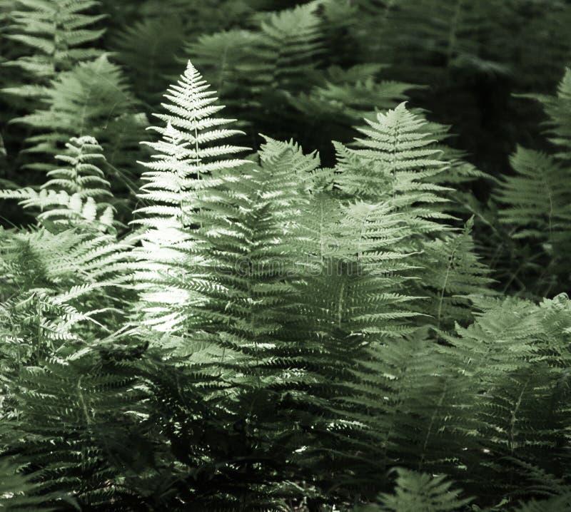 Het grote varen groeien in een bos, duotone stock fotografie