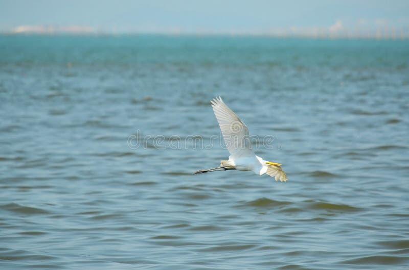 Het grote Witte Vliegen van de Aigrette stock fotografie