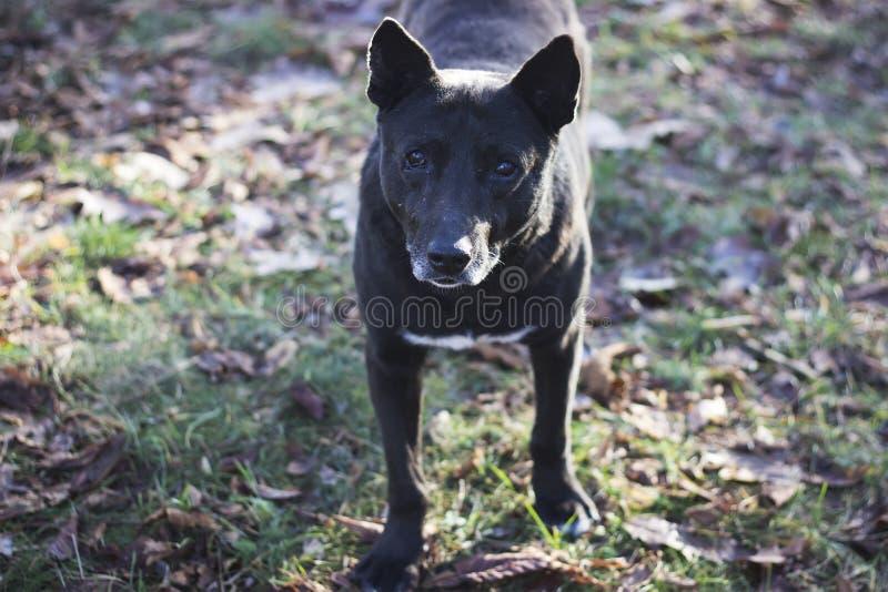 Het grote zwarte hond letten op bij camera royalty-vrije stock afbeeldingen