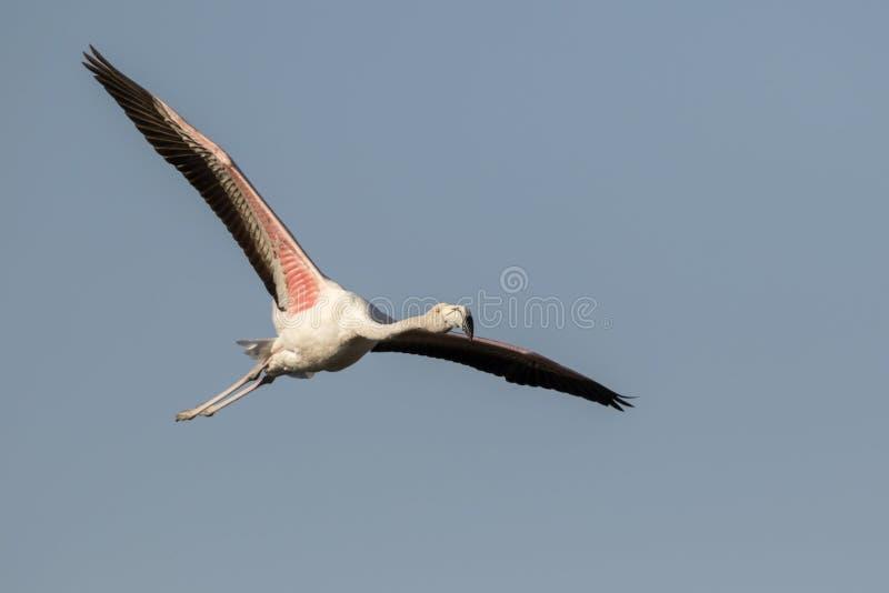 Het grotere Flamingo vliegen royalty-vrije stock afbeelding
