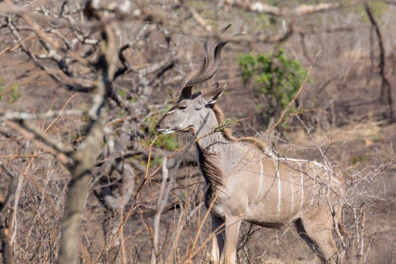 Het grotere strepsiceros van kudutragelaphus voeden stock foto