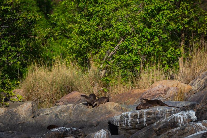 Het habitatbeeld van vlot-Met een laag bedekte de familiejongen van otterlutrogale pers speelt in ochtendlicht op rotsen royalty-vrije stock afbeeldingen