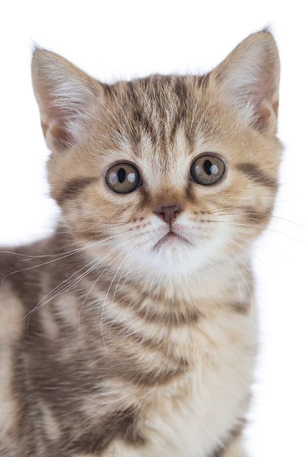 Het halve portret van het lichaamskatje in studio Schotse shorthair jonge kat die op witte achtergrond wordt geïsoleerd stock foto's