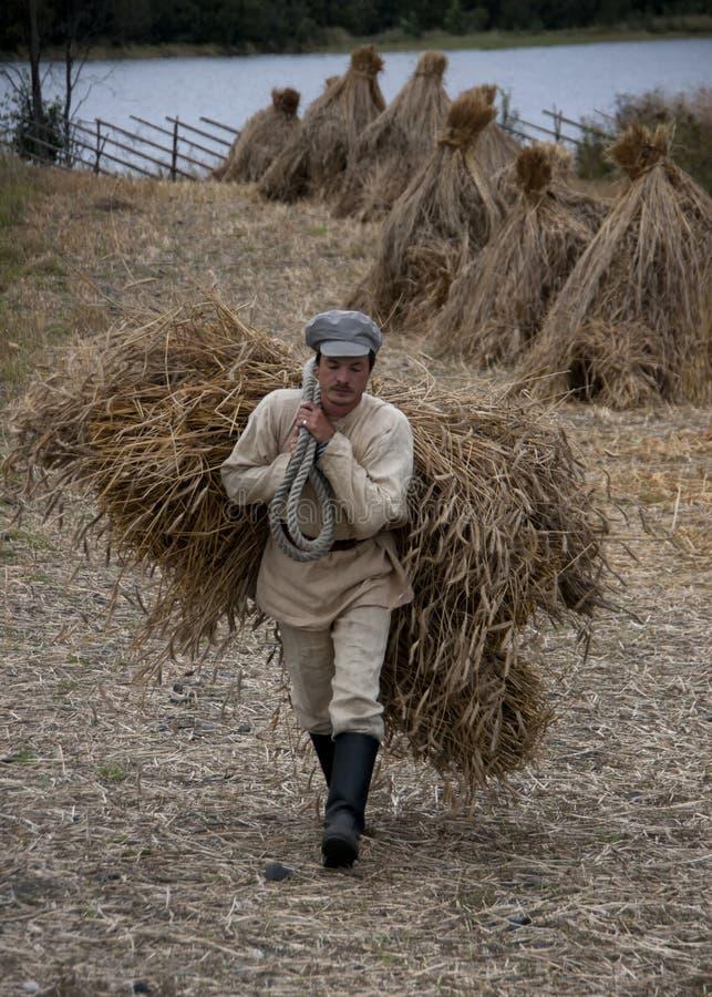 Het hand oogsten van tarwe op klein landbouwbedrijf in Noordelijk Rusland royalty-vrije stock afbeeldingen