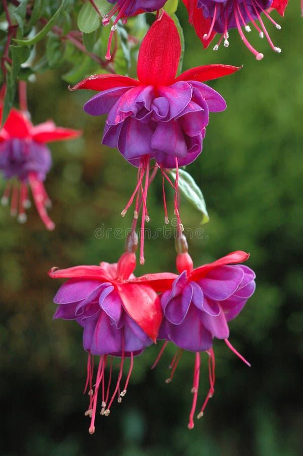 Het hangen Fuchsia stock afbeeldingen