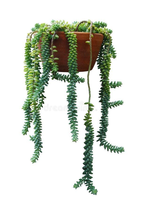 Het hangen succulente burrito van de Staartsedum van installatieburro's of Donky-staartinstallatie in kleipot die op witte acht royalty-vrije stock fotografie