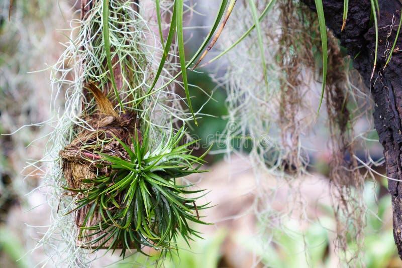 Het hangen uiterst kleine Tillandsia en Spaanse mosdecoratie in tuin royalty-vrije stock afbeeldingen