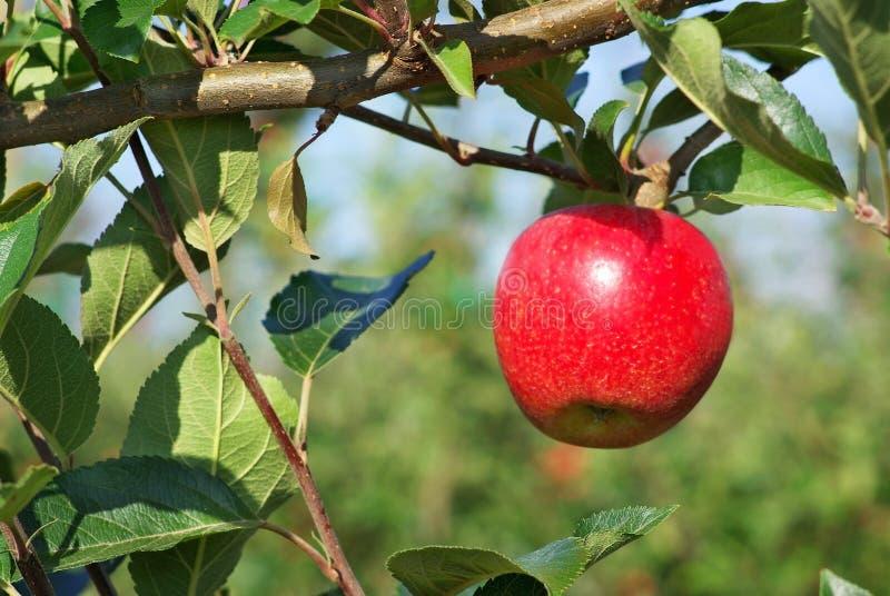 Het hangen van de appel van een boom. stock foto
