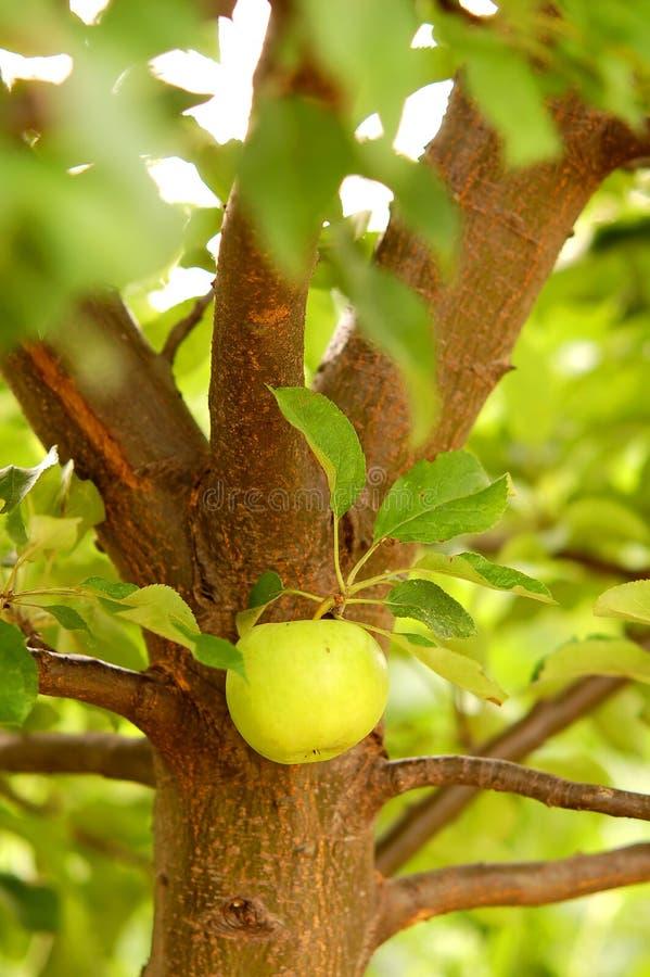Het hangen van de appel van een boom stock afbeeldingen