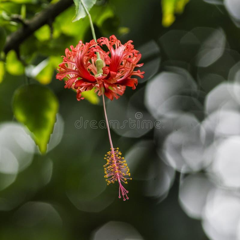 Het hangen van rode Chinese hibiscus bij Tweeling valt Maui royalty-vrije stock foto's