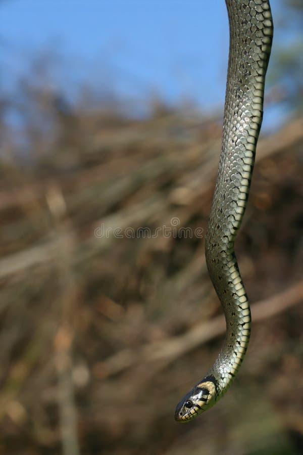 Het hangen van slang royalty-vrije stock afbeeldingen
